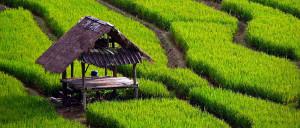 rice_field_landscape-bali300